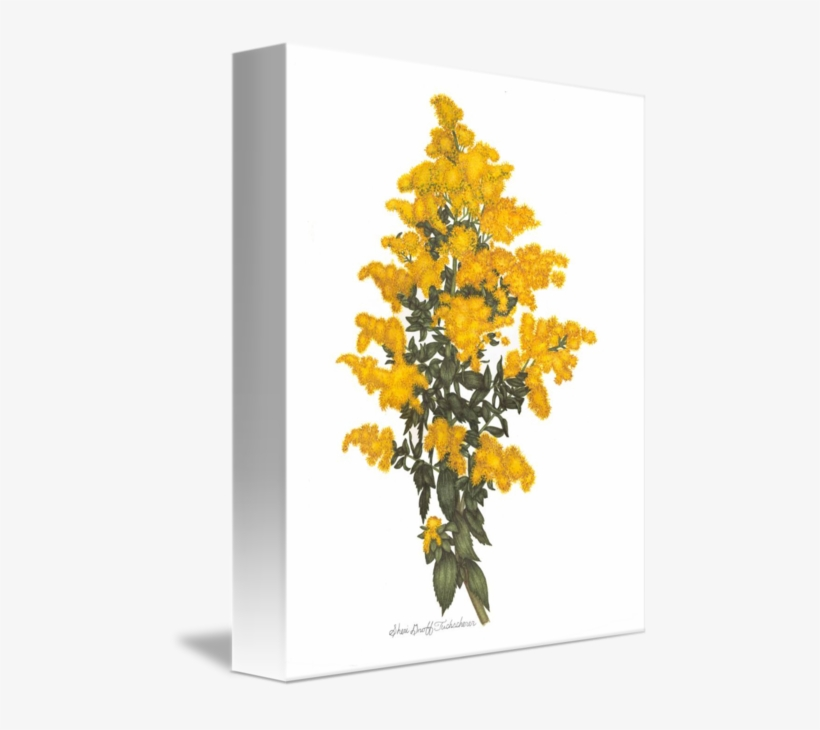 Goldenrod Drawing Watercolor Png Royalty Free Stock - Drawing, transparent png #7653