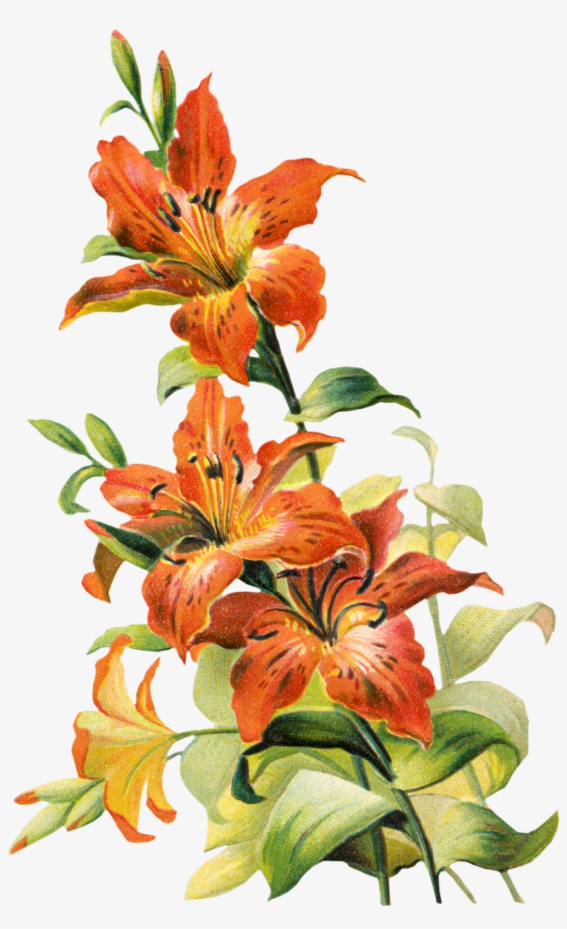 Free Vintage Tiger Lily Flower Lilly Flower Drawing, - Vintage Lily Flower, transparent png #8233