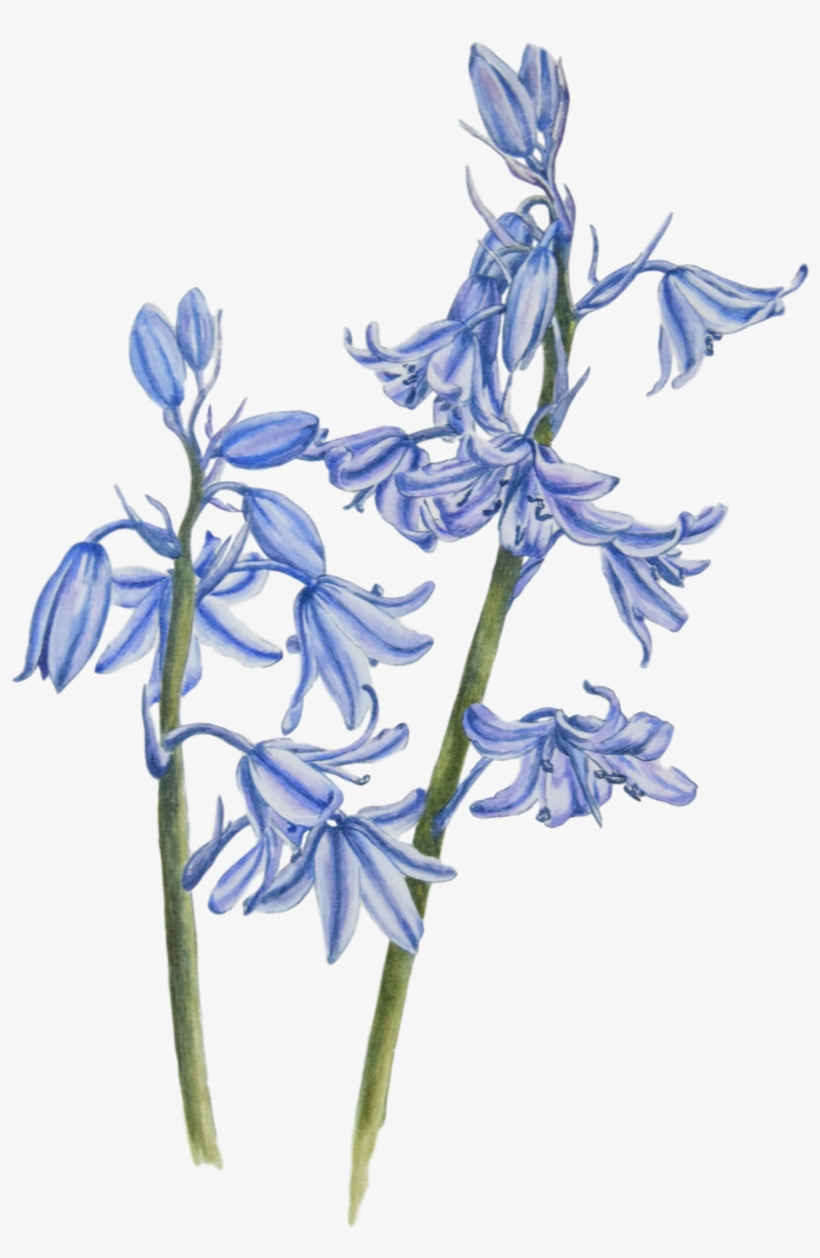 Bluebells In Watercolour Paint - Watercolor Painting, transparent png #10080