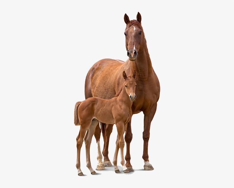 And Foal Transparent Pluspng - Horse, transparent png #10450