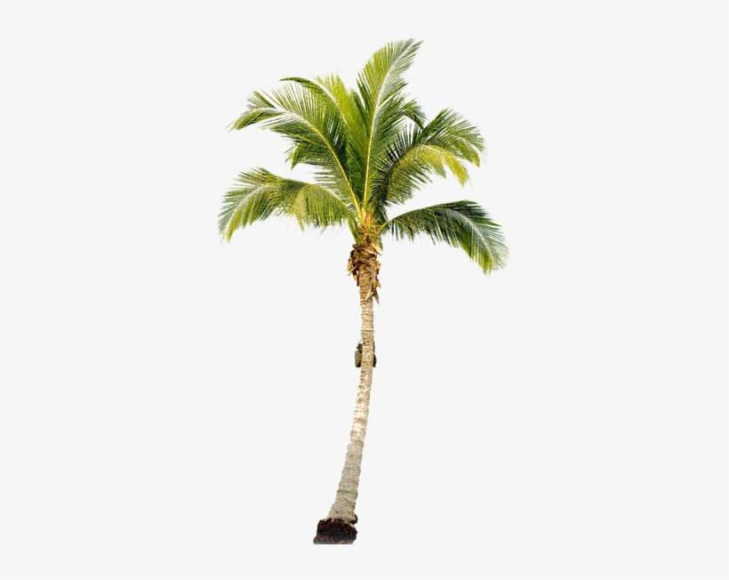 Palm Tree Png, Palm Trees, Tree Psd, Painting Trees, - Palm Tree Transparent Png, transparent png #12123