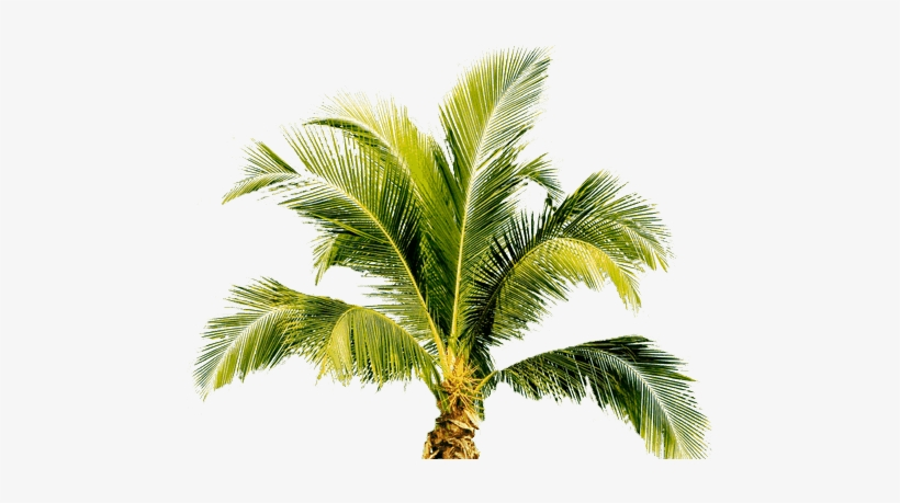 Tropical Palm Tree Png, transparent png #13356