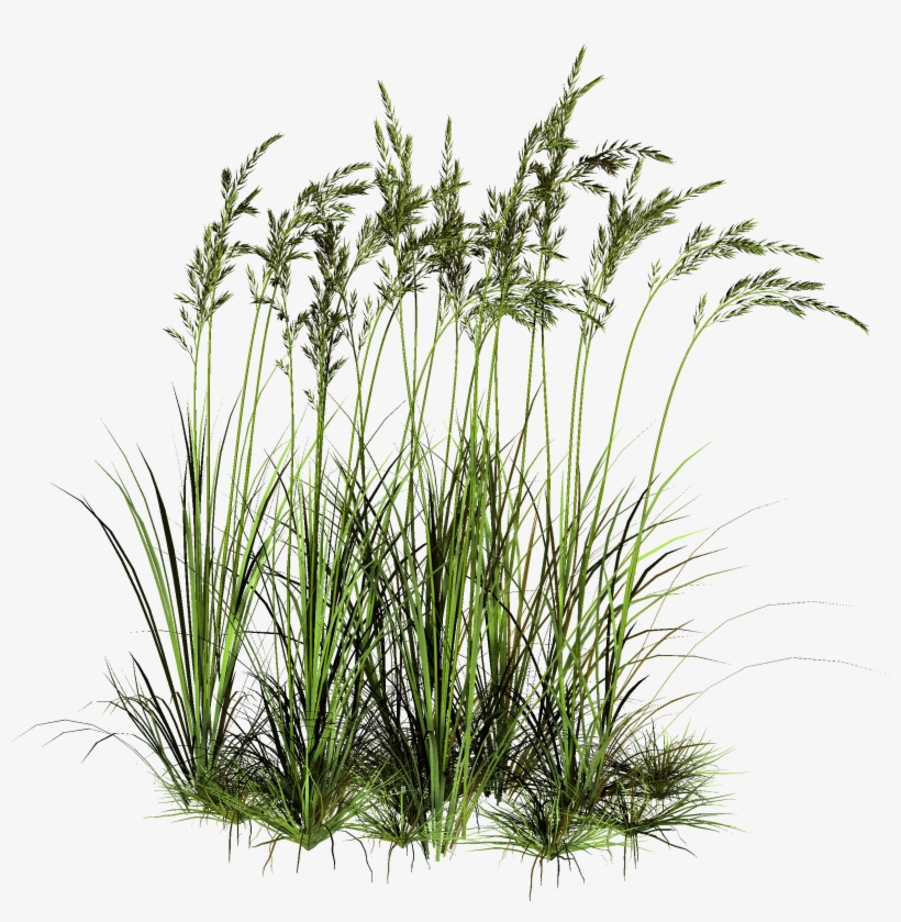 Tall Grass Png - High Grass Cut Out, transparent png #14218