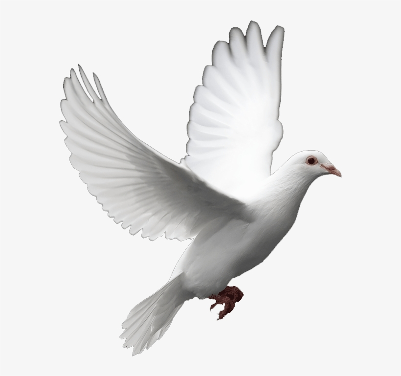White Dove Birds Love Png
