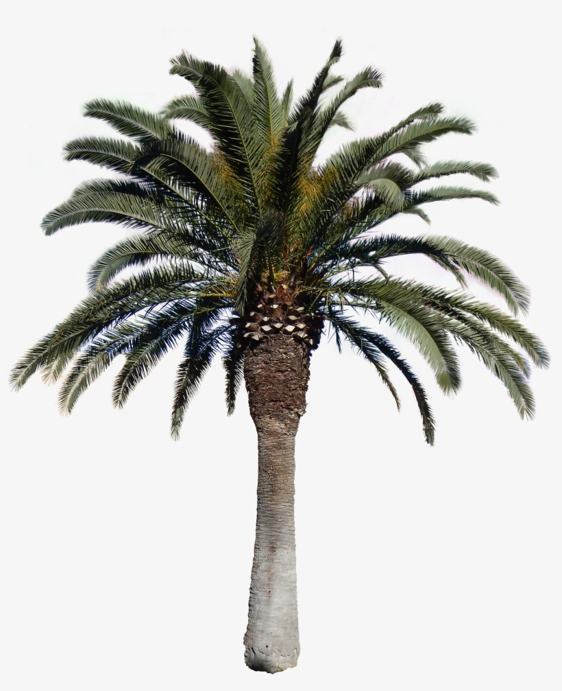 Transparent Images Pluspng Download - Date Palm Tree Png, transparent png #14348