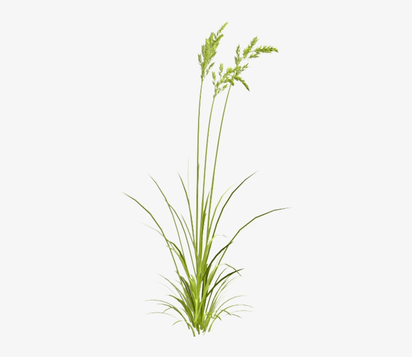 Grasses Watercolor Painting - Sweet Grass, transparent png #14500