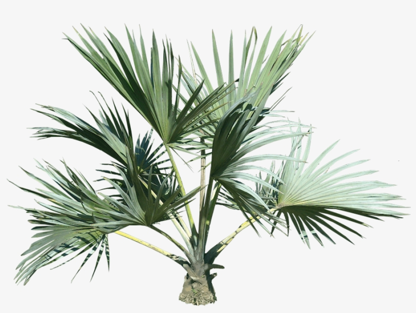 Top Palm Tree Png - Palm Tree Plant Png, transparent png #17717