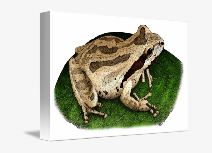 Amphibian Drawing Pacific Chorus Frog - Pacific Tree Frog Drawing, transparent png #10063567