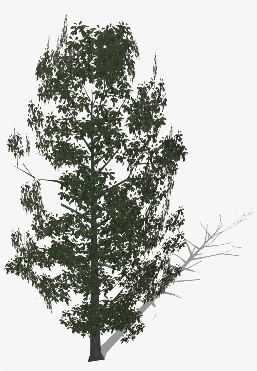 Bigsassafras - Pond Pine, transparent png #10067021