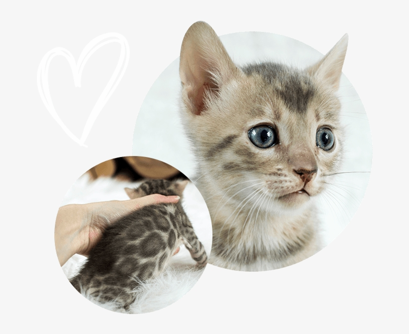 Cats Kittens For Sale - Kitten, transparent png #10071740