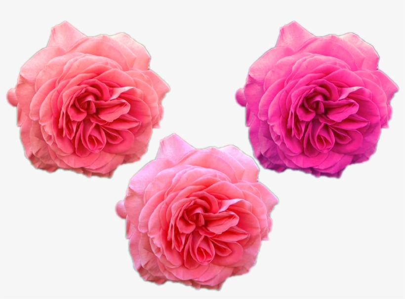Flowers Png \png Roses Austin Rose Pink Purple Nature - Garden Roses, transparent png #10074722