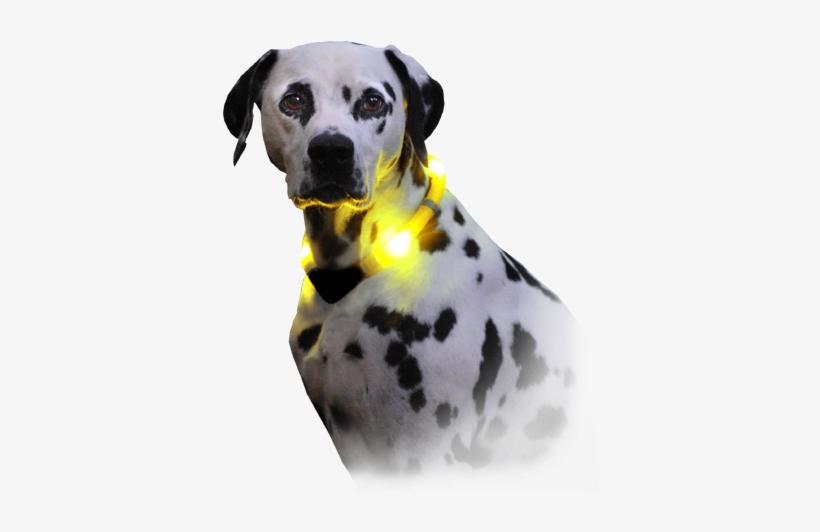Dog With Light Collar Leuchite Premium - Collier Pour Chien Avec Lumière, transparent png #1014168
