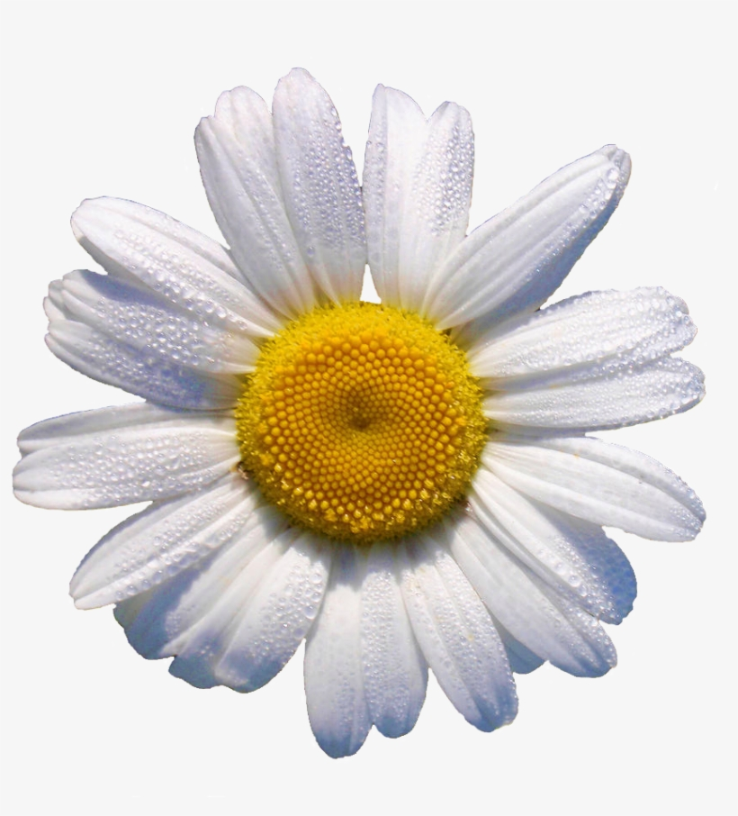 White Daisy // This Would Look Grrr88 In A Flower Crown - Daisy Transparent, transparent png #1023057
