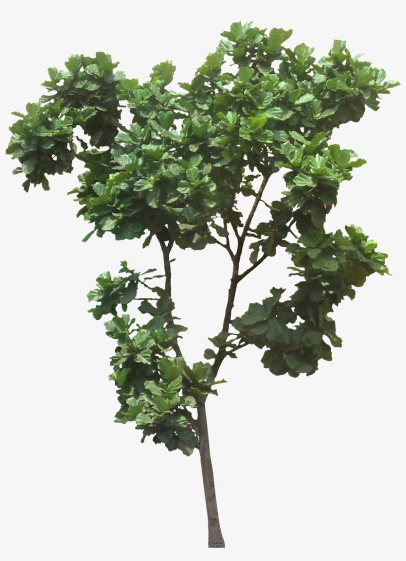 Tree Cut Out, Jungle Tree, Plant Pictures, Trees To - Ficus Lyrata Tree Png, transparent png #1025349
