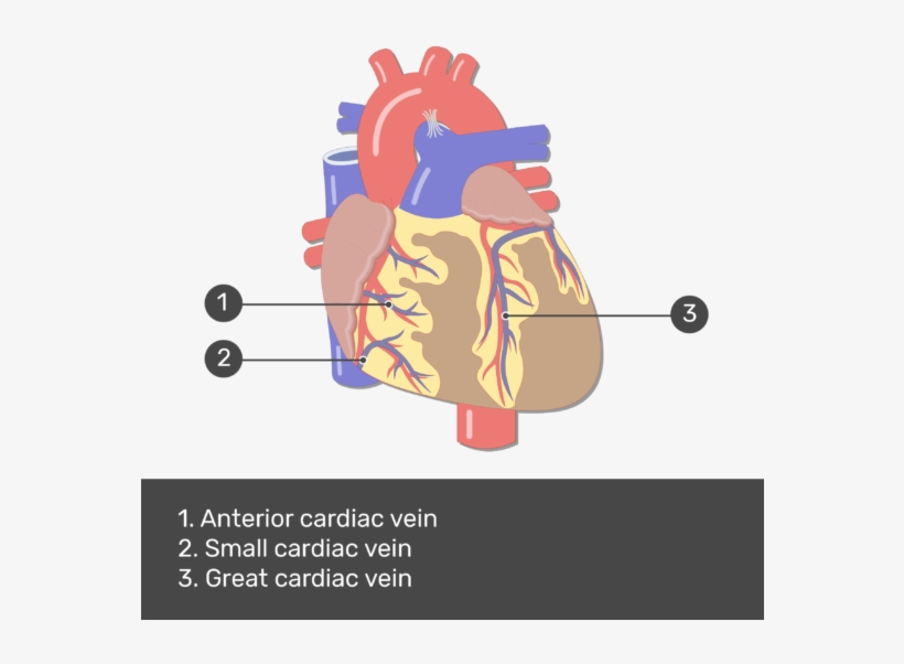 Test Yourself Image For The Anterior View Of The Cardiac Auricles