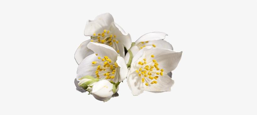 Jasmine - Transparent Musk Flower Png, transparent png #1075378