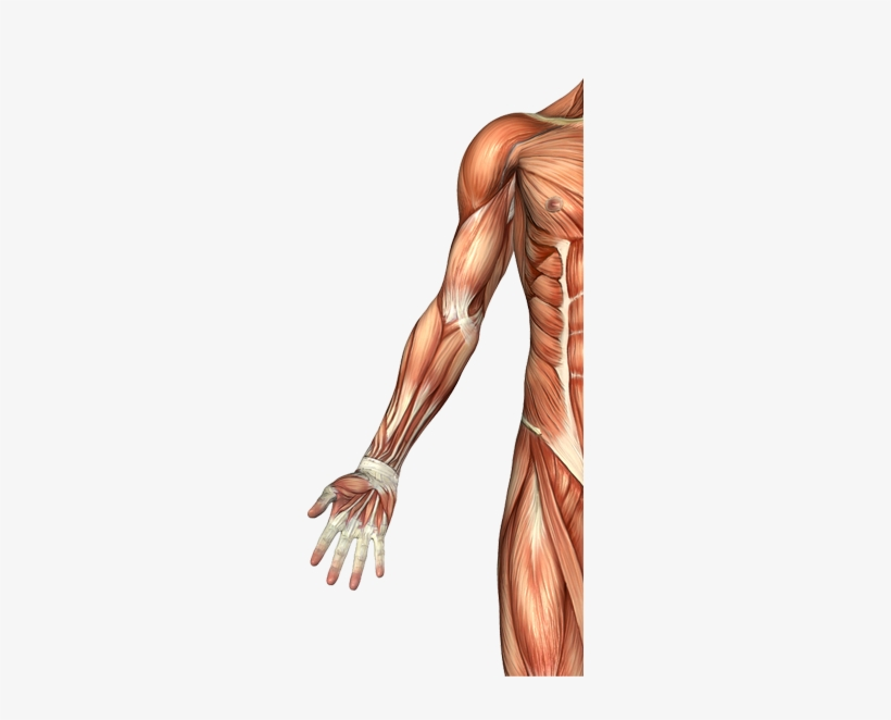 Biceps Brachii Muscle Male Arm Muscle Anatomy Free Transparent