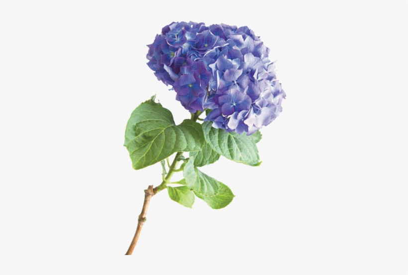 Hydrangea - American Greetings We Love You, Mom, Birthday Card, transparent png #1085756