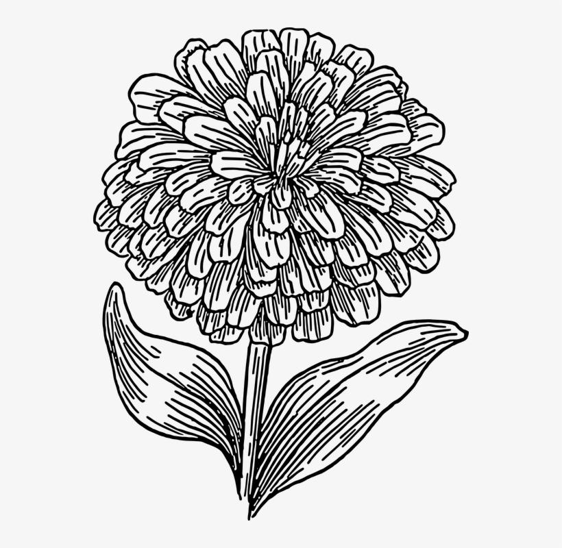 Free Image On Pixabay Biology Plant Flower - Marigold Flower Coloring Pages, transparent png #1085841