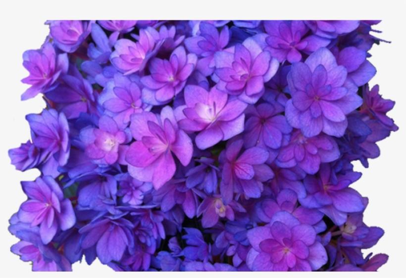 Flower Purple Png Multi Transparent Hydrangea Transparent - Purple Flower Transparent, transparent png #1086837