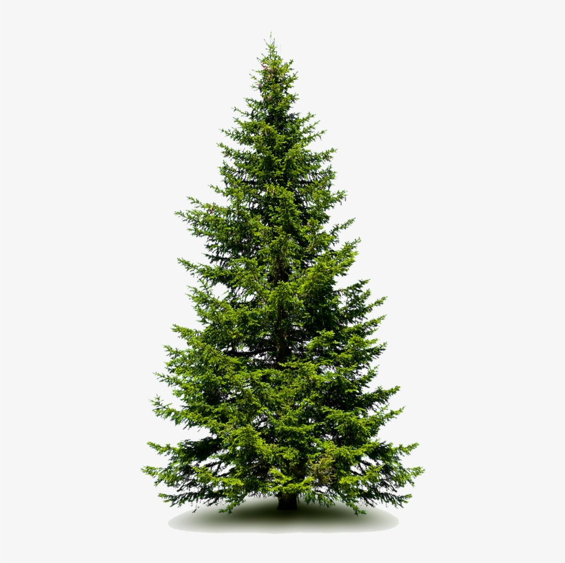 3724537 Orig - Fraser Fir Tree, transparent png #1118429