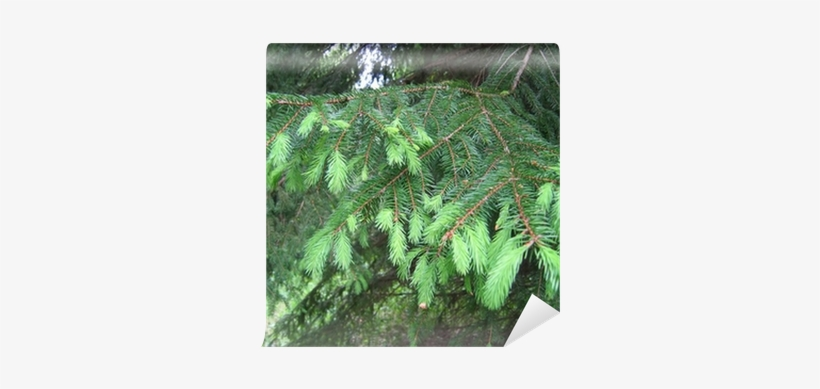 Closeup Picture Of Pine Tree Branch - Tree, transparent png #1122990