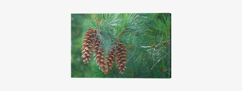 Pine Cones Hanging From A Pine Tree Branch Canvas Print - Pine Cones Hanging From Branch, transparent png #1123018