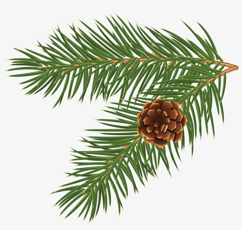 Pinus Taeda Conifer Cone Branch Tree Clip Art - Fir Tree Branch Vector, transparent png #1174003