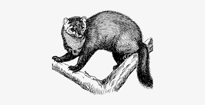 Tree, Branches, Animal, Fisher, Fur - Fisher Animal Drawing, transparent png #1183931