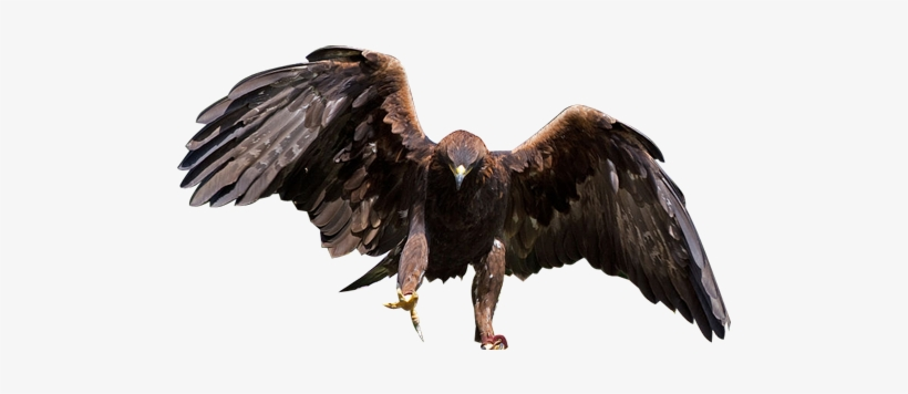 Eagle Transparent Background Png - Golden Eagle Clear Background, transparent png #120846