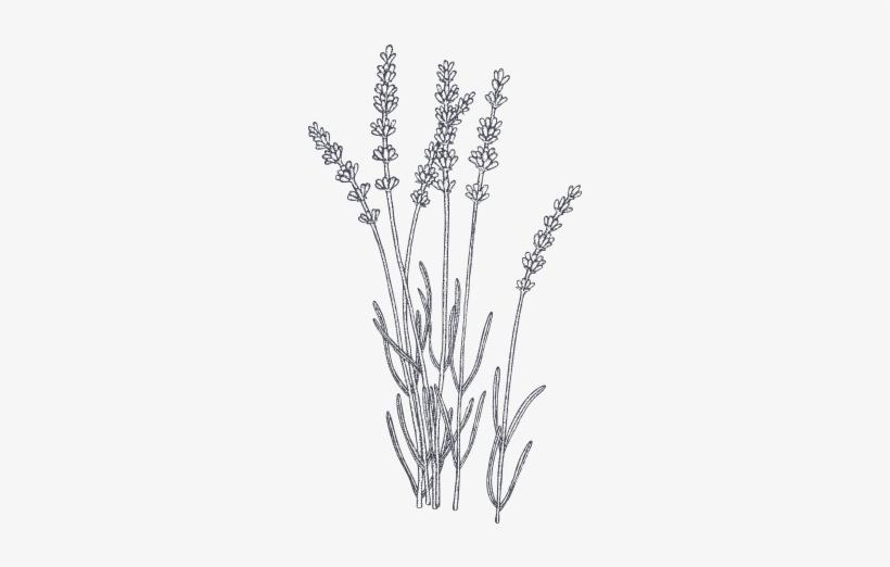 Лаванда черно-белые картинки