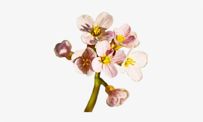 Spring Flower Png Free Download - Spring Flower Png Transparent, transparent png #121516
