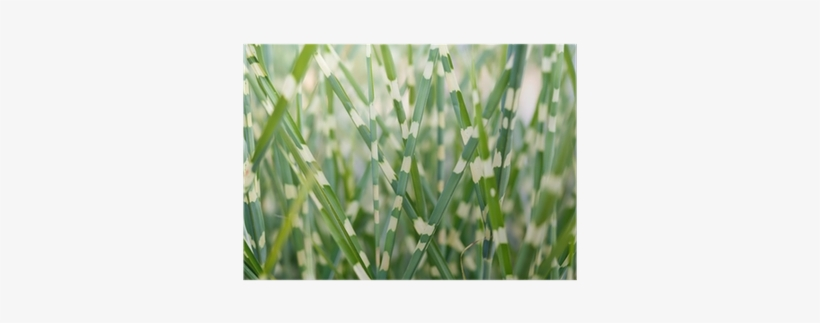 Stripped Ornamental Grass Background Poster • Pixers® - Ornamental Grass, transparent png #121999