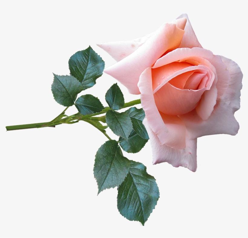 Rose, Flower, Stem, Garden, Nature - Rose Of Nature Png, transparent png #1236510