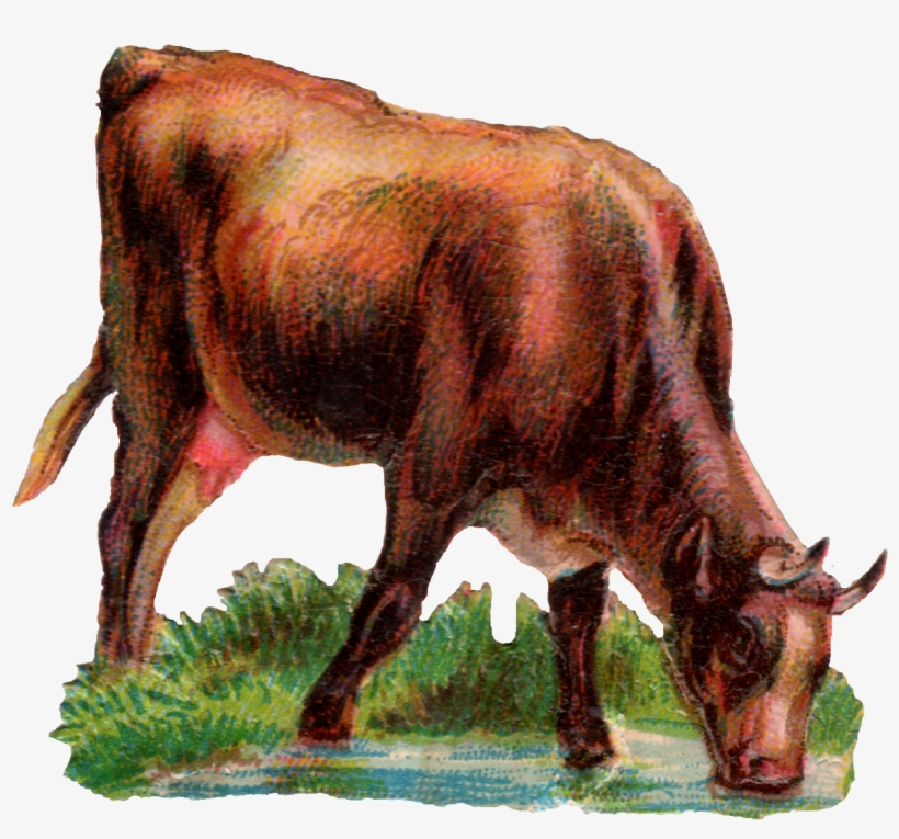 Today We Have A Cow Drinking Water - Cow Drinking Water Png, transparent png #1256839