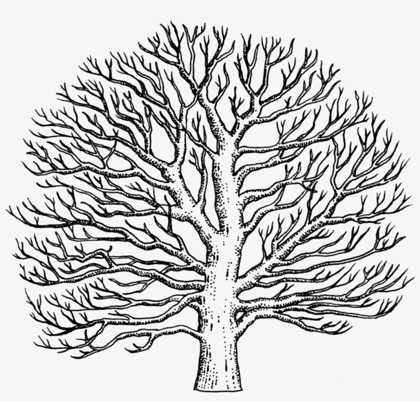 Drawn Tree Sycamore Tree Easy To Draw Sycamore Tree Free