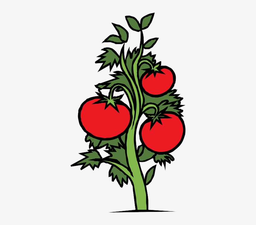 Red Food Drawing Sketch Plants Tree Cartoon Tomato Plant Clipart Free Transparent Png Download Pngkey Download tree cartoon stock vectors. red food drawing sketch plants
