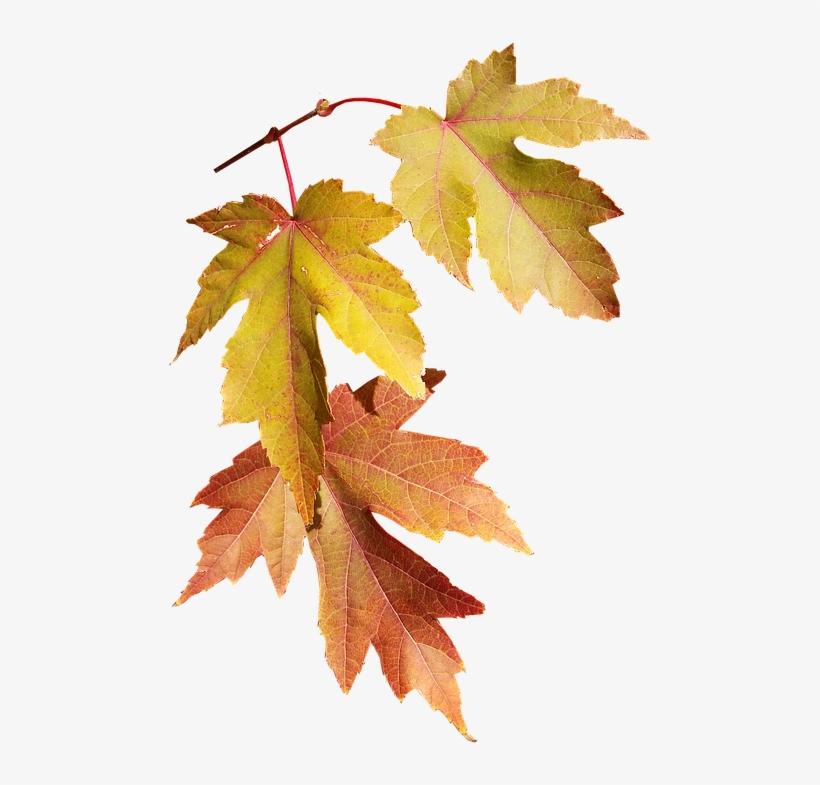 Leaves, Autumn, Fall, Nature, Season, Tree - Autumn, transparent png #1296159