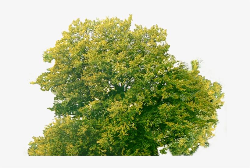 Tree Plan Png - Tree Top Png Free, transparent png #131092