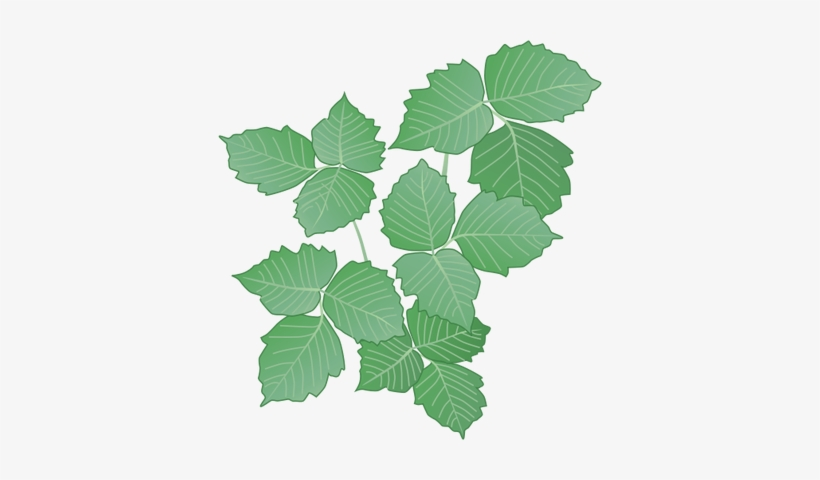 28 Collection Of Poison Ivy Plant Drawing - Poison Ivy Plant Drawing, transparent png #133034