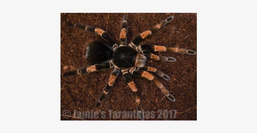 Megaphobema Mesomelas 1 1/4 - Costa Rica Giant Red Leg Tarantula, transparent png #1307813