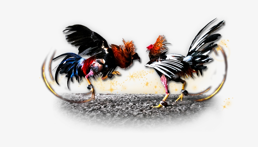 Roosters Who Lose The Fights Are Often Known Nothing - Imagenes De Gallos De Pelea Png, transparent png #1339787
