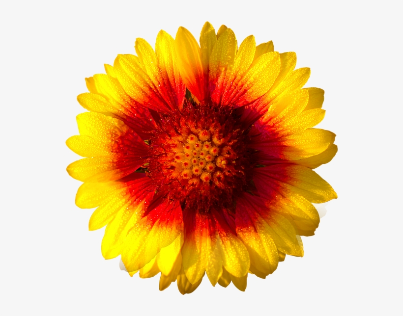 Sun Flower,isolated - Daisy Flower White Background, transparent png #1353520