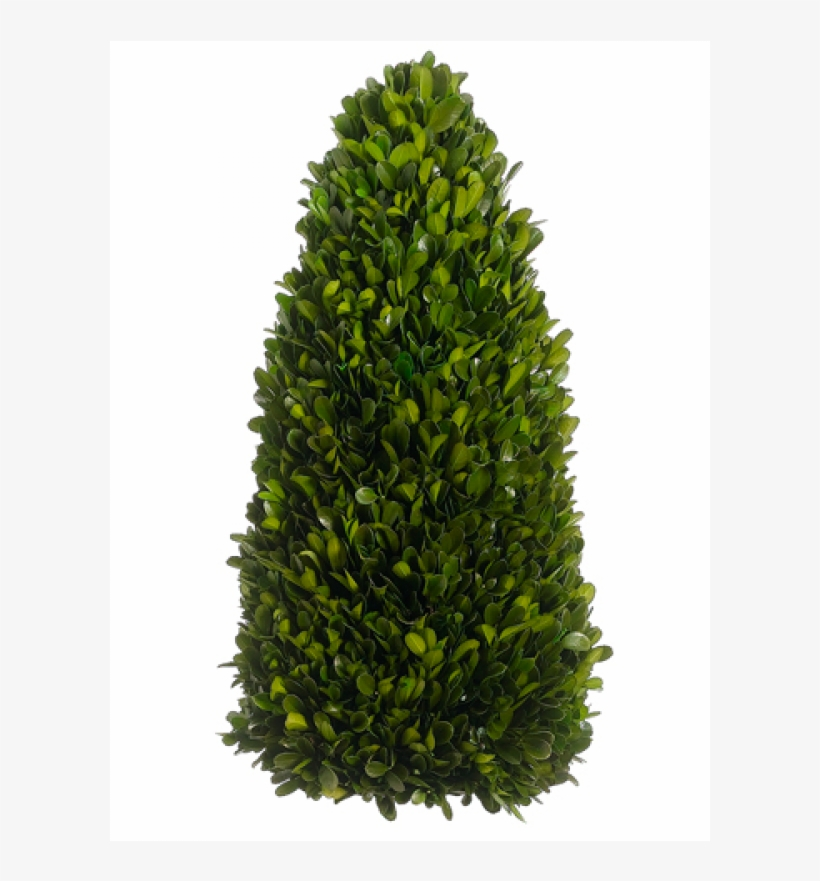 """7"""" Preserved Boxwood Cone Topiary Green - Fraser Fir Christmas Tree, transparent png #1358347"""