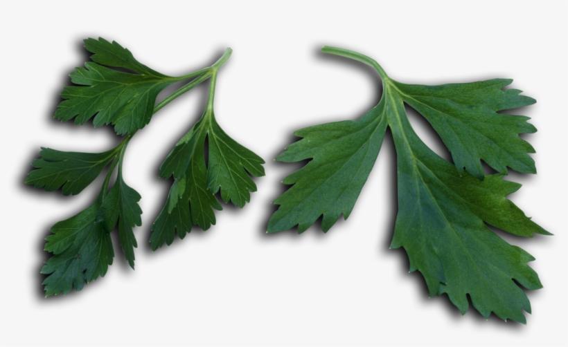 Petroselinum Crispum Leaves - Parsley, transparent png #1374503