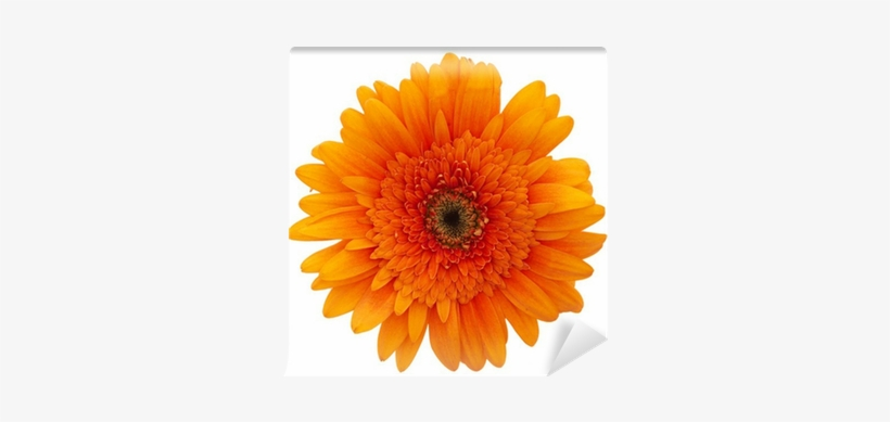 Daisy Flowers, transparent png #1377457
