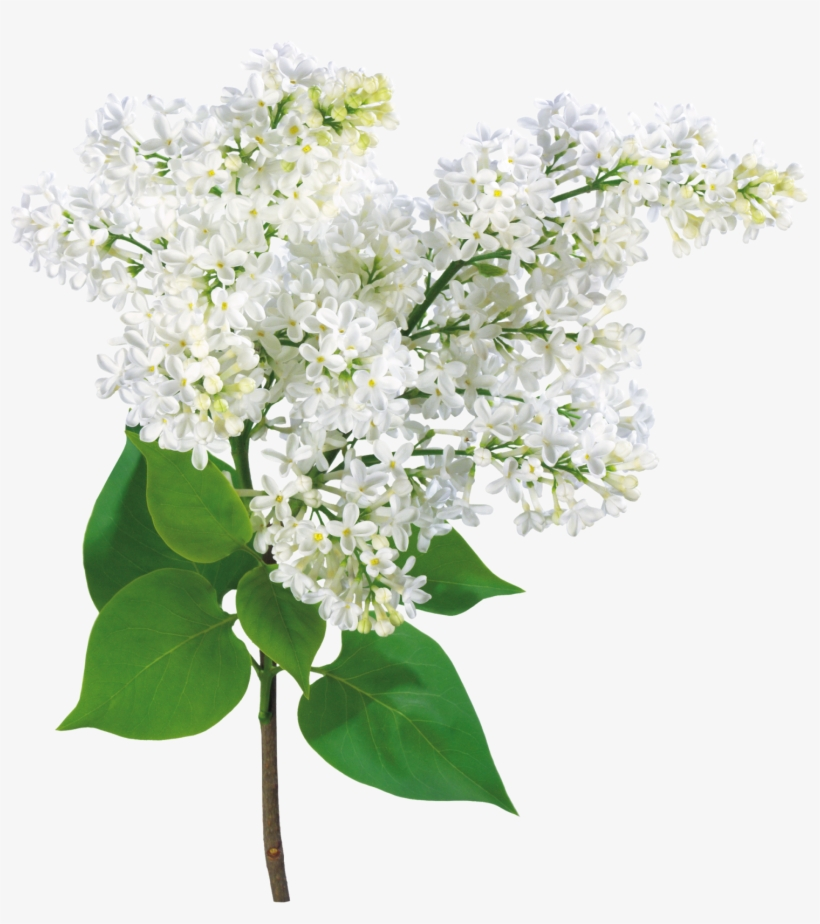 Mother's Day, Grandma - Lilac Flowers Card, transparent png #1385454