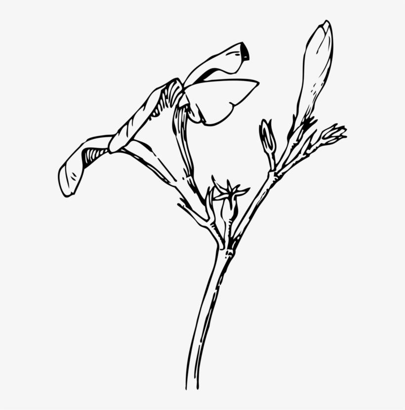 Oleander Bud Flower Drawing Plants - Oleander Flower Drawing, transparent png #1388827