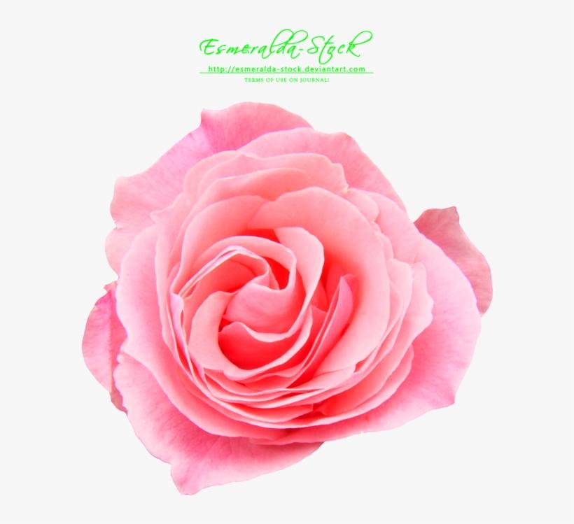 Pink Rose Png Free Download Pink Rose Free Png Free Transparent