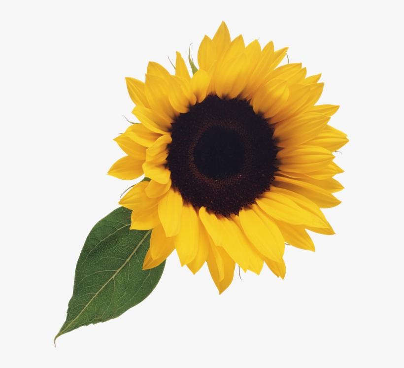 Free Sunflower Clipart Png - Sunflower Clip Art No ...
